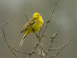 singing yellow bird on bare branch on gray day