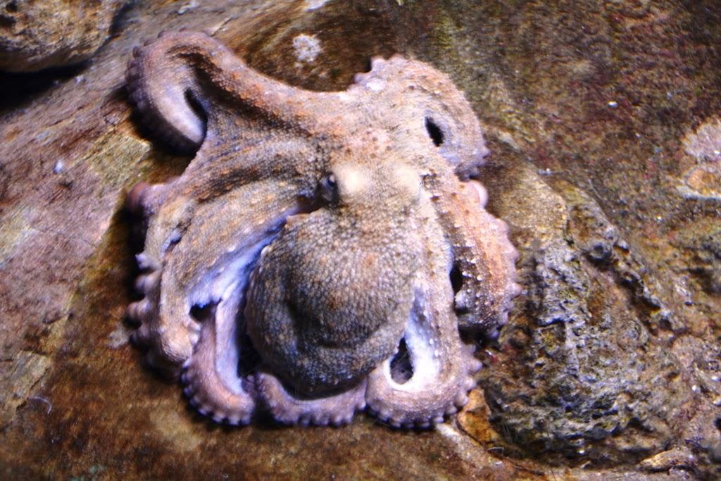Barcelona Aquarium octopus