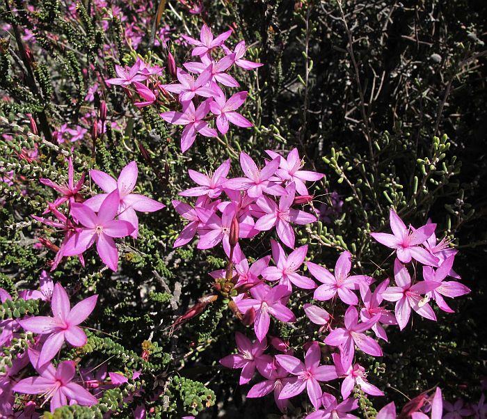 Esperance Wildflowers Calytrix Duplistipulata Inland Pink Starflower