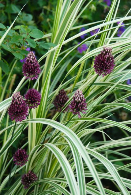 Wife mother gardener guide to common names of for Common ornamental grasses