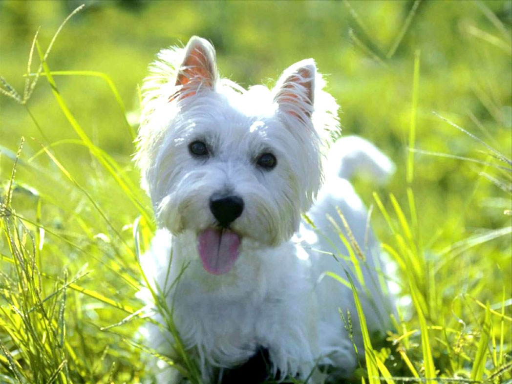 West Highland White Terrier - Animals Wallpapers