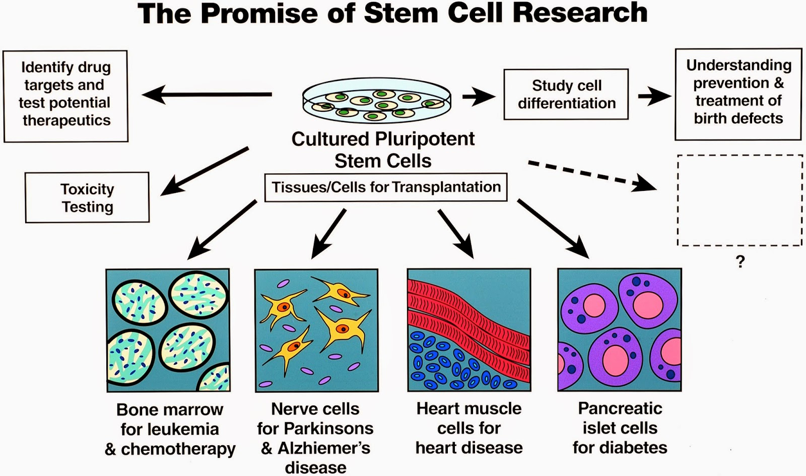 essay on pro stem cell research