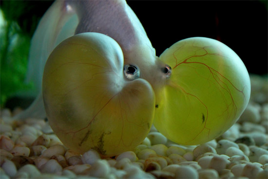 Bubble Eye Goldfish Pictures Animals Library