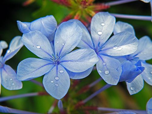 plantas de jardim lista:JARDINS DE AGHARTA: Vamos criar um lindo jardim de flores azuis ?