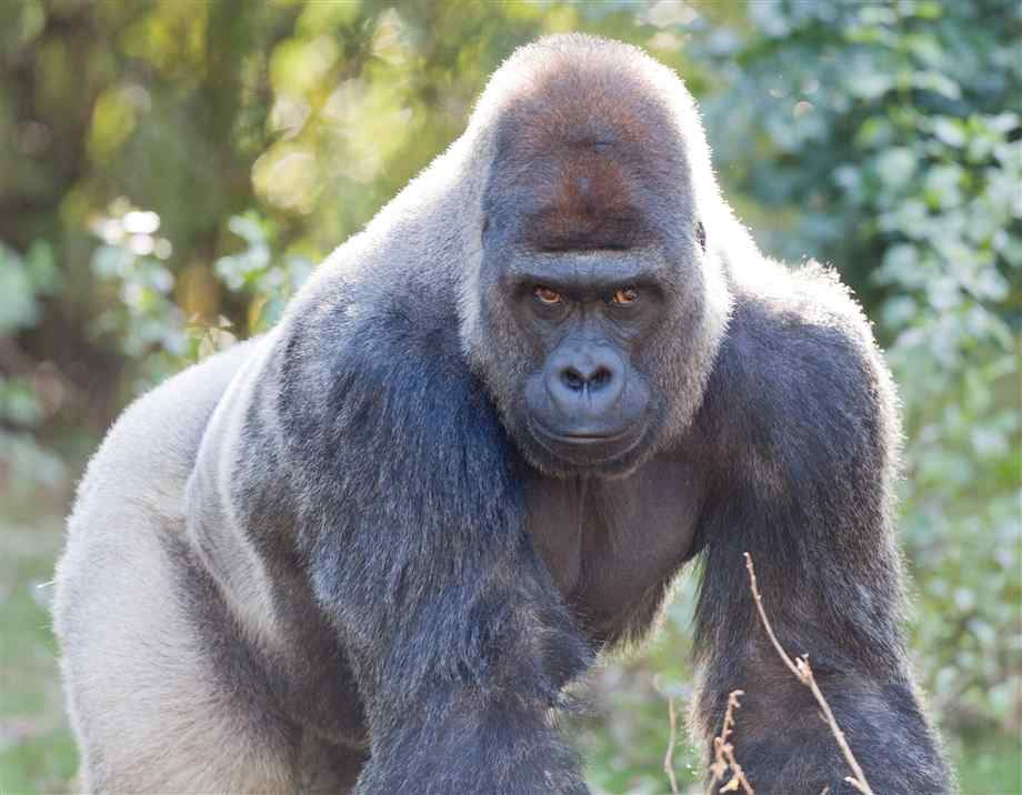 the silver back gorilla facts amp imagesphotos the wildlife