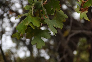 photo of bur oak leaves