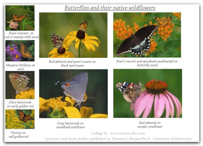 butterflies and native wildflowers