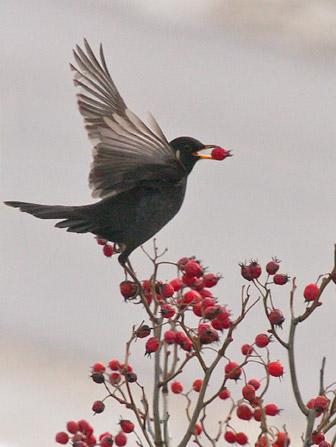 Vogelnährgehölze - Apfeldorn