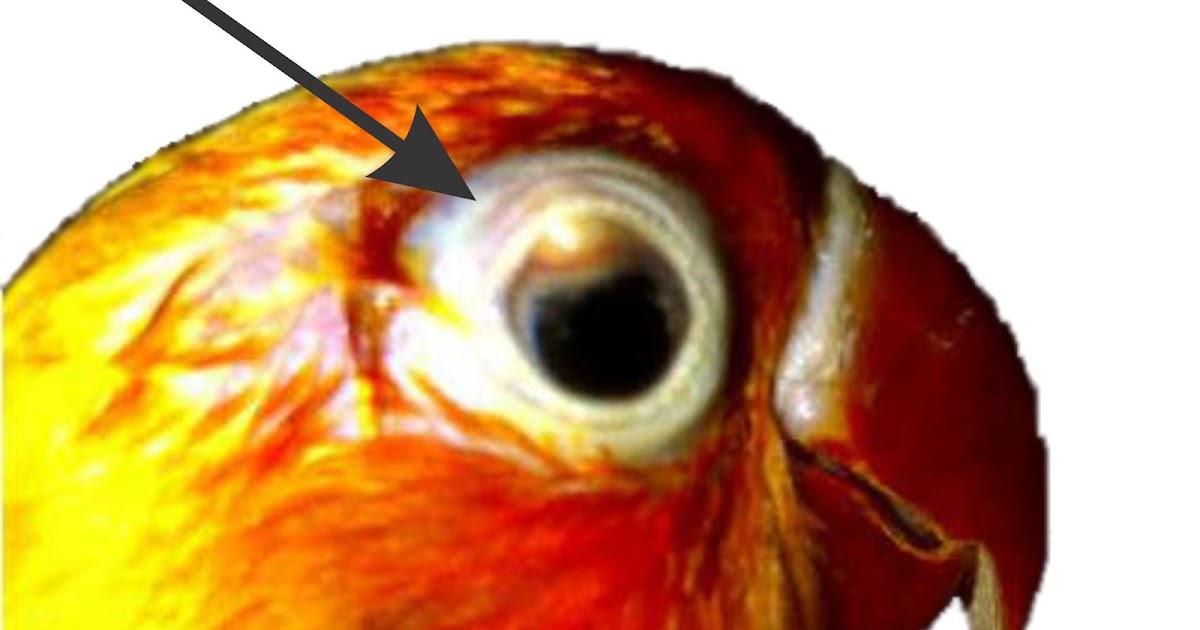 Cara Menyembuhkan Penyakit SNOT Lovebird | Arena Burung