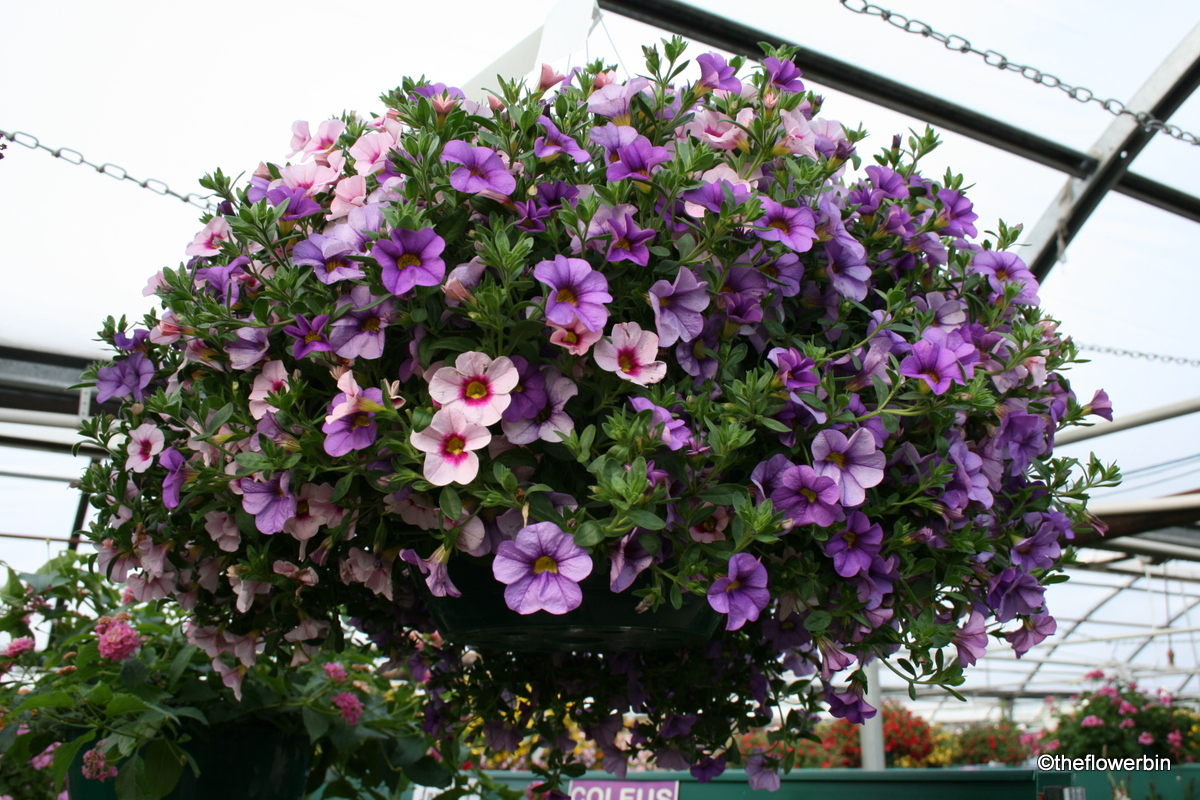 The Flower Bin Taking Care Of Your Legendary Hanging Basket