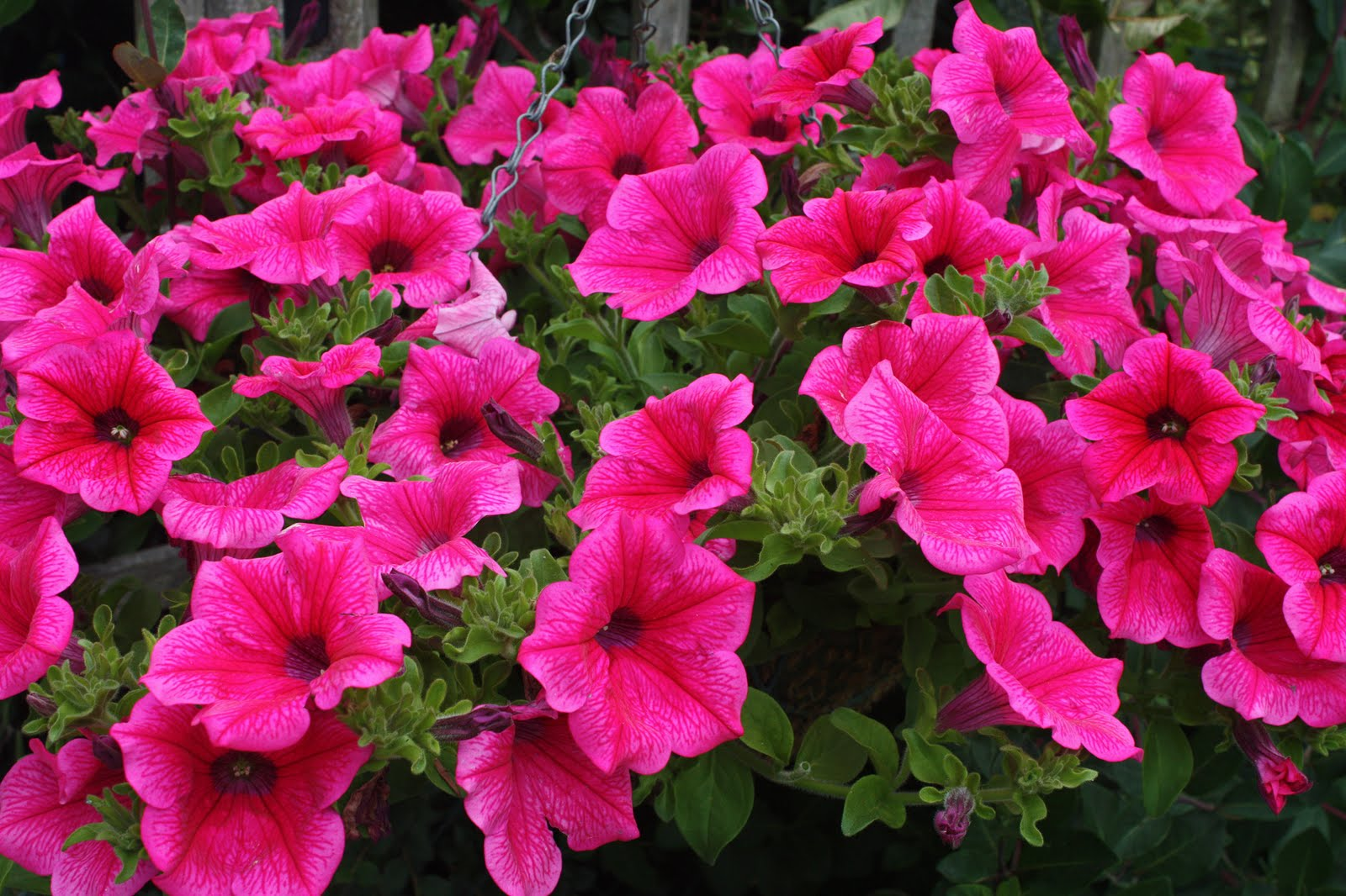 Current plants and flowers on pinterest petunias for Surfinia balcone