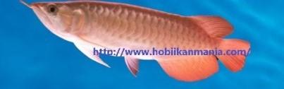 Hobi Ikan Mania
