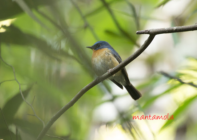 Slaty-blue Flycatcher (ficedula Hodgsonii)