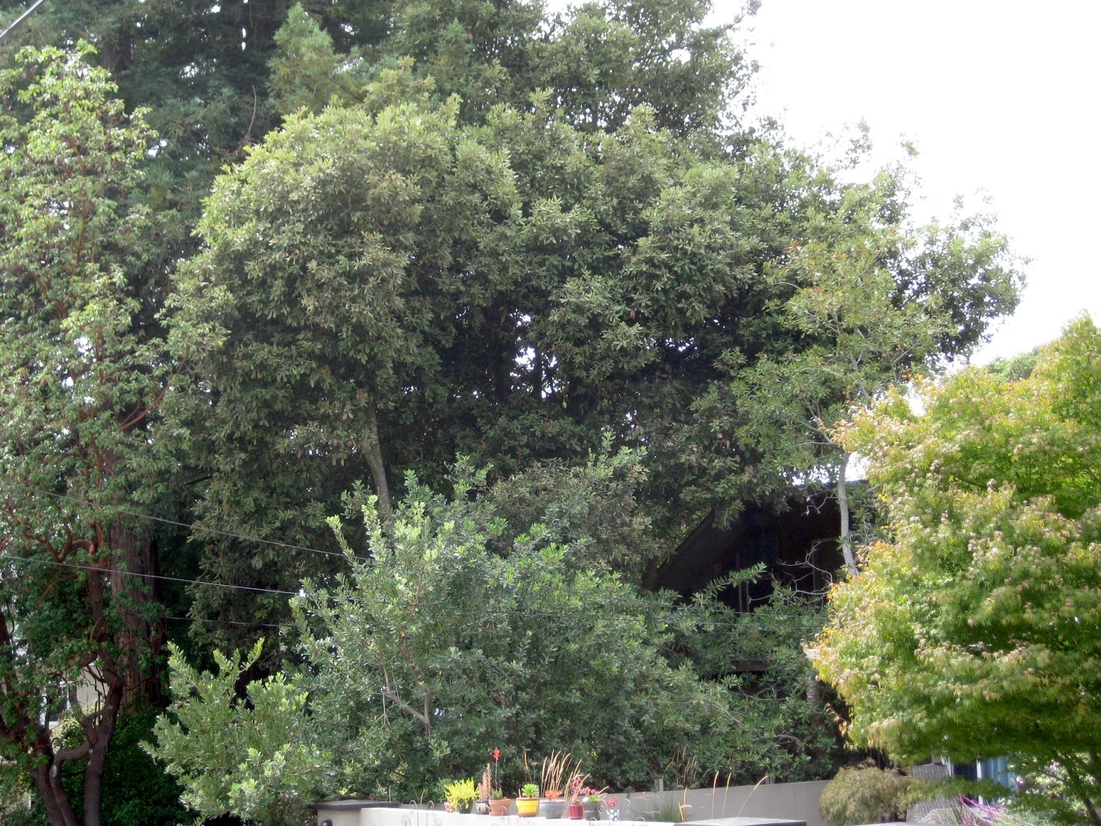 Trees Of Santa Cruz County Lithocarpus Densiflorus Tan