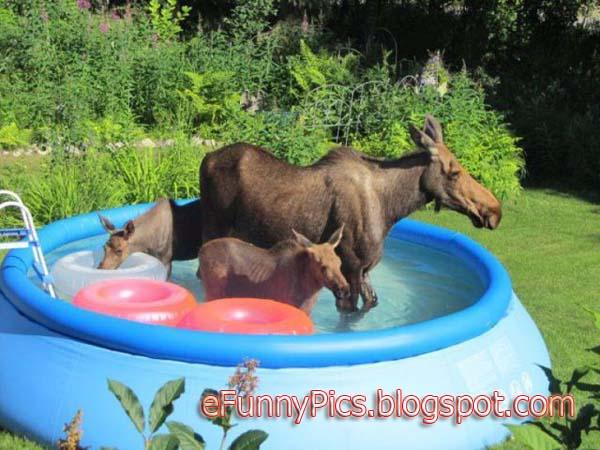 Moose have Badetag