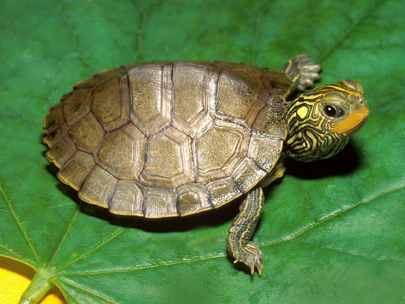 Buy a Pet Turtles in Addition to help Make Your Life a Lot More ...