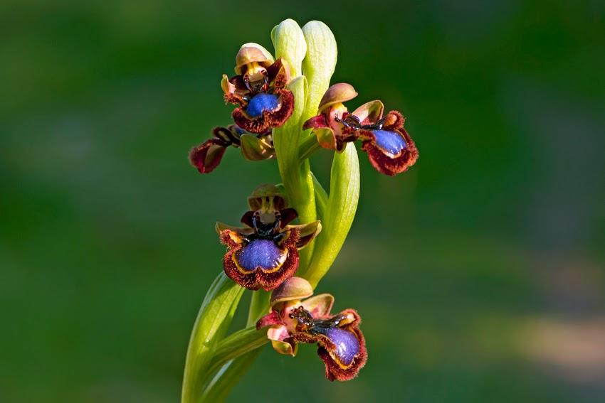 Orquidea Ophrys speculum