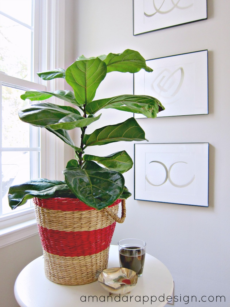 how to grow fast fiddle leaf fig tall