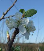 Plum Blossom 2012/m9