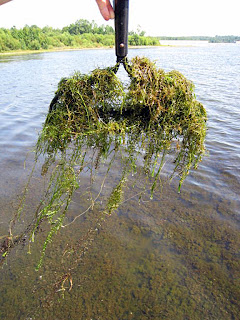 nuisance aquatic weed hydrilla eradication solitude lake management