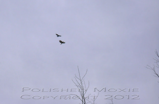Image of crow and hawk circling in the sky.