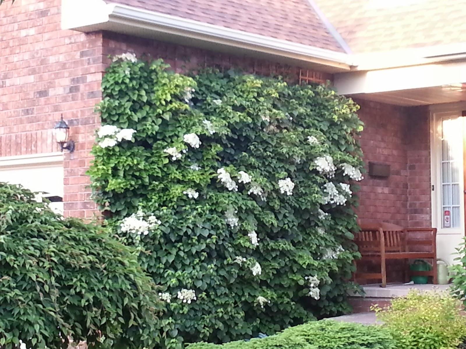Climbing Vines For Walls - Climbing hydrangea on a brick wall stunning