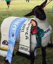 ovino, Brasil, ovinocultura, carne, corte, suffolk