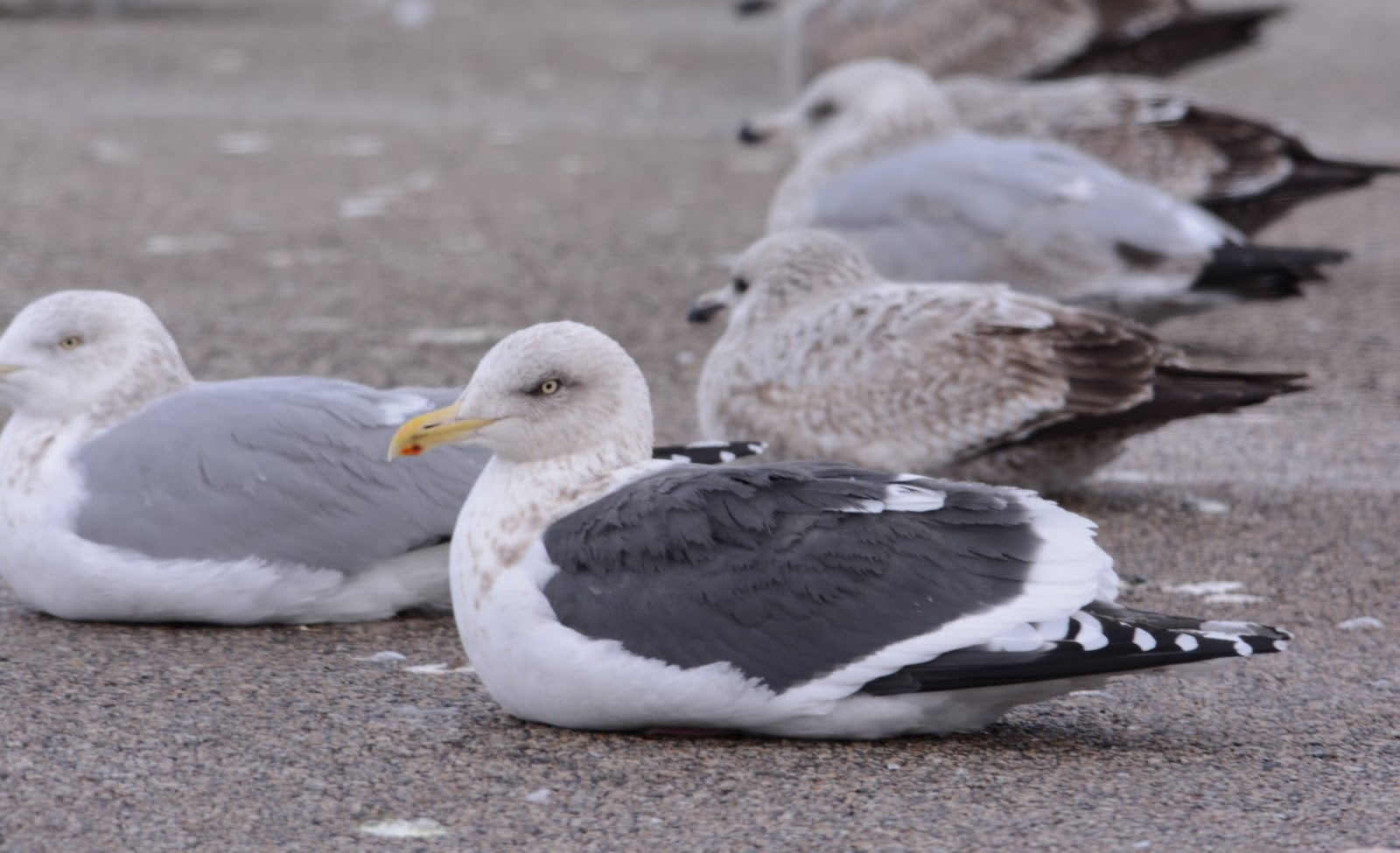 Slaty-backed Gull in Britain?
