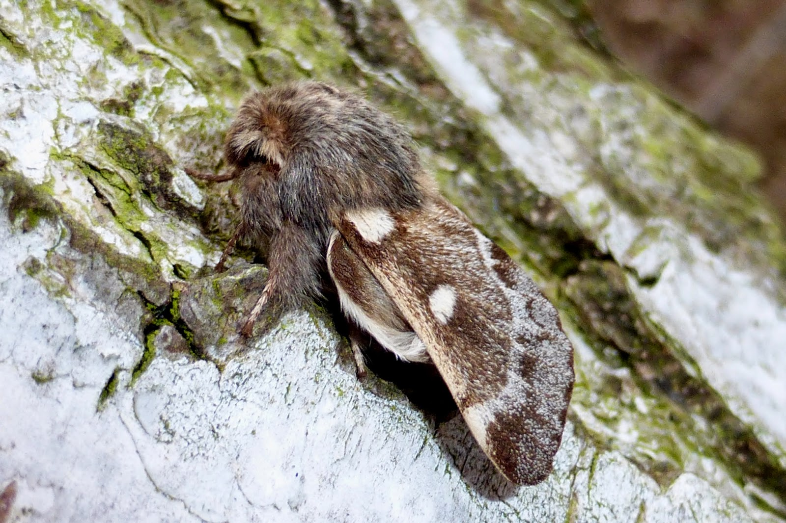 Eriogaster lanestris male