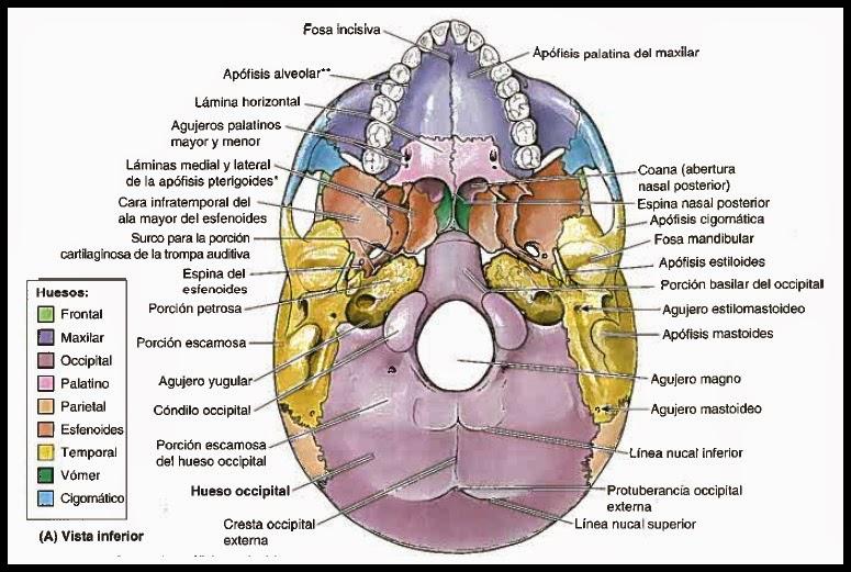 Lujo Interior De La Anatomía Del Cráneo Elaboración - Anatomía de ...