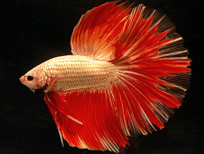 Amazing Colourful Betta Fish Photos Fighter Fish Collection