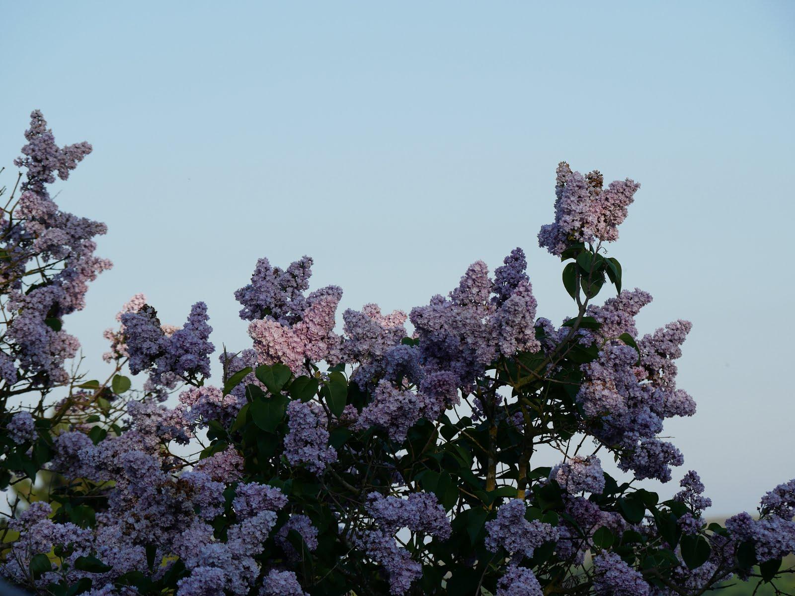 Lilac au jardin