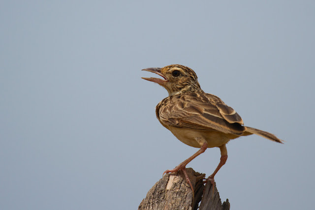 A photograph of a Paddyfield Pippit taken in Arugam Bay, Sri Lanka