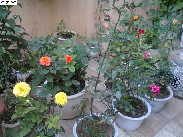 Chậu hoa tròn trồng hoa