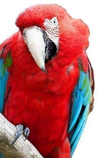 Arara Vermelha Grande (Ara chloropterus)