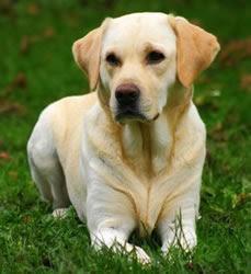 Imagens do Cachorro Labrador