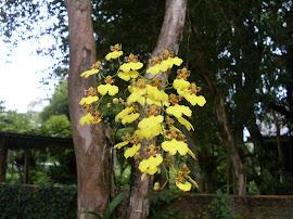 Oncidium riograndensis