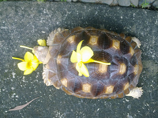 A geochelone sulcata tortoise eating yellow bells.