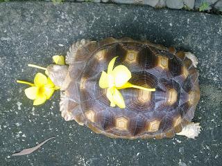 A geochelone sulcata tortoise eating yellow bells.