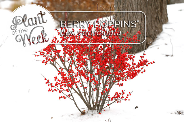 Plant of the Week: Berry Poppins winterberry holly