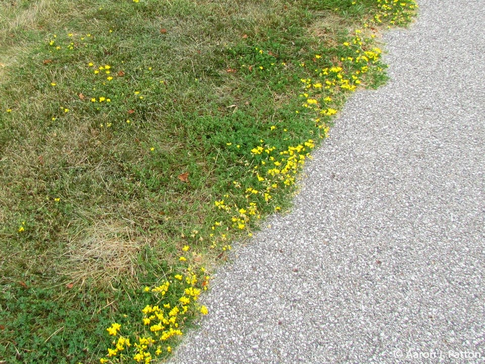 Purdue turf tips weed of the month for july 2014 is birdsfoot trefoil though black medic also has yellow flowers they are often smaller and more numerous clusters than birdsfoot trefoil flowers mightylinksfo