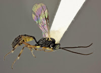 Diadegma insulare wasp (a.k.a., 'tireless killing machine'). Photo by Adamo Young, reproduced from his research article with permission.