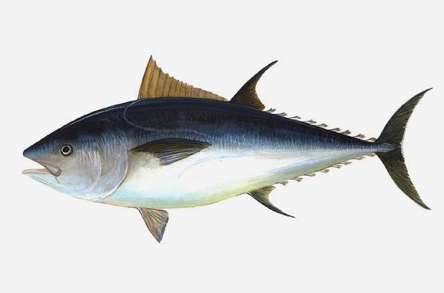 foto ikan tuna dan manfaat serta khasiat ikan tuna bagi kesehatan