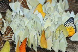 Common Albatross (Appias albina), Orange Albatross  (Appias nero), Red-spot Sawtooth (Prioneris philonome clemanthe)