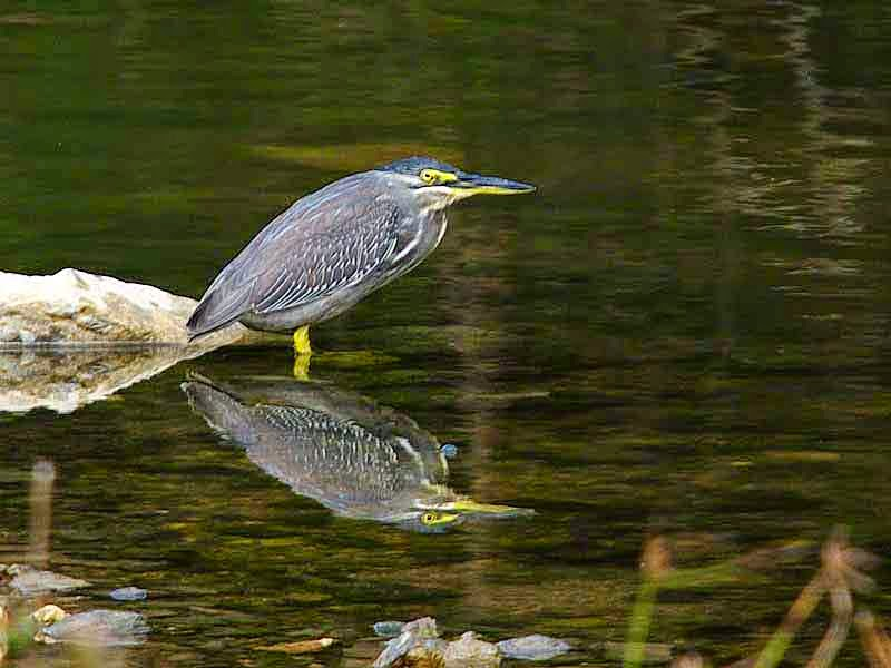 bird, Striated Heron, river reflection