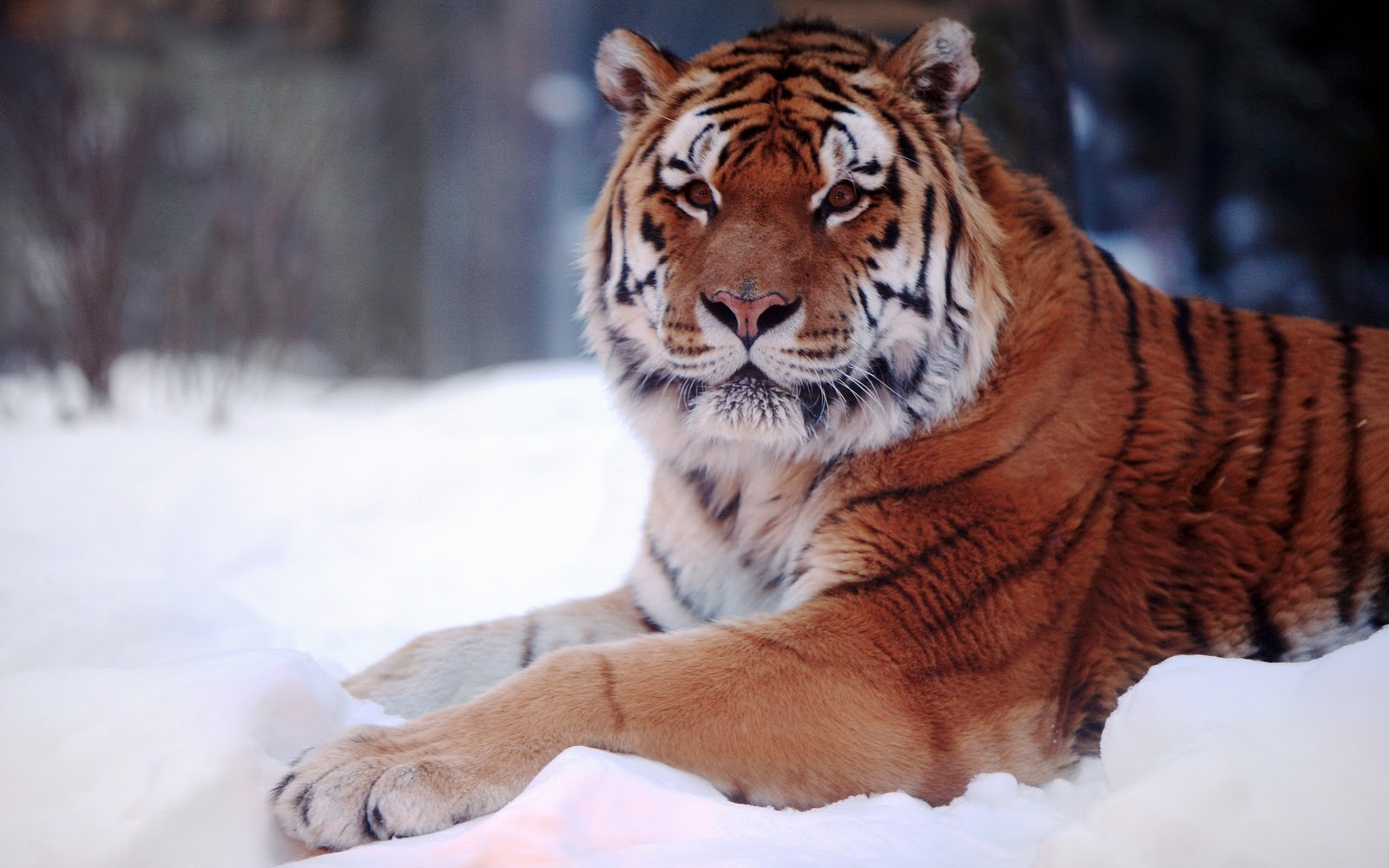 qq wallpapers tiger and - photo #27