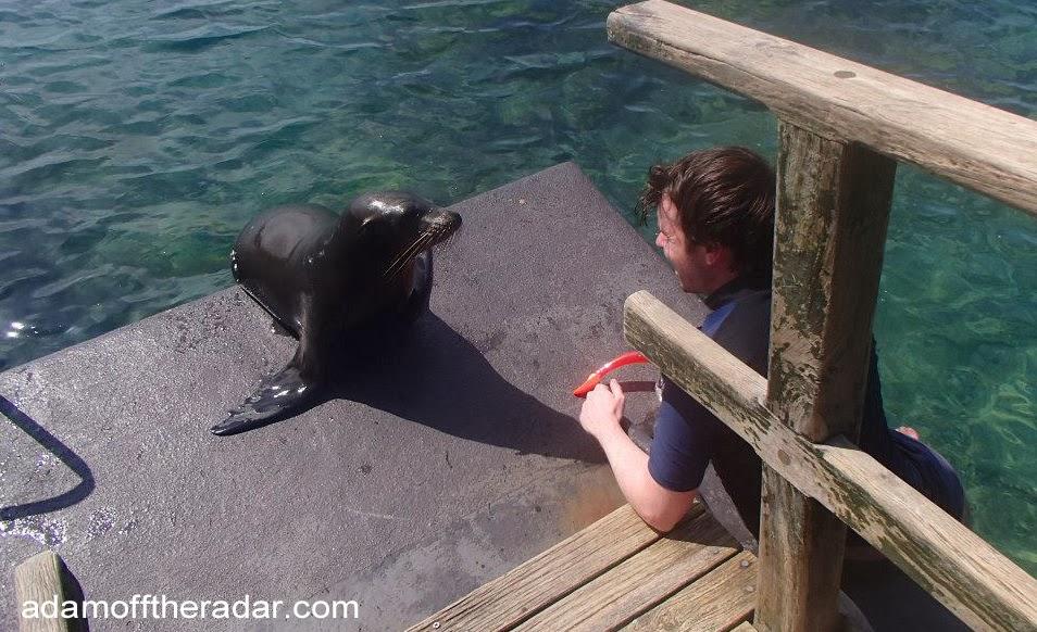 sea lion isabela galapagos