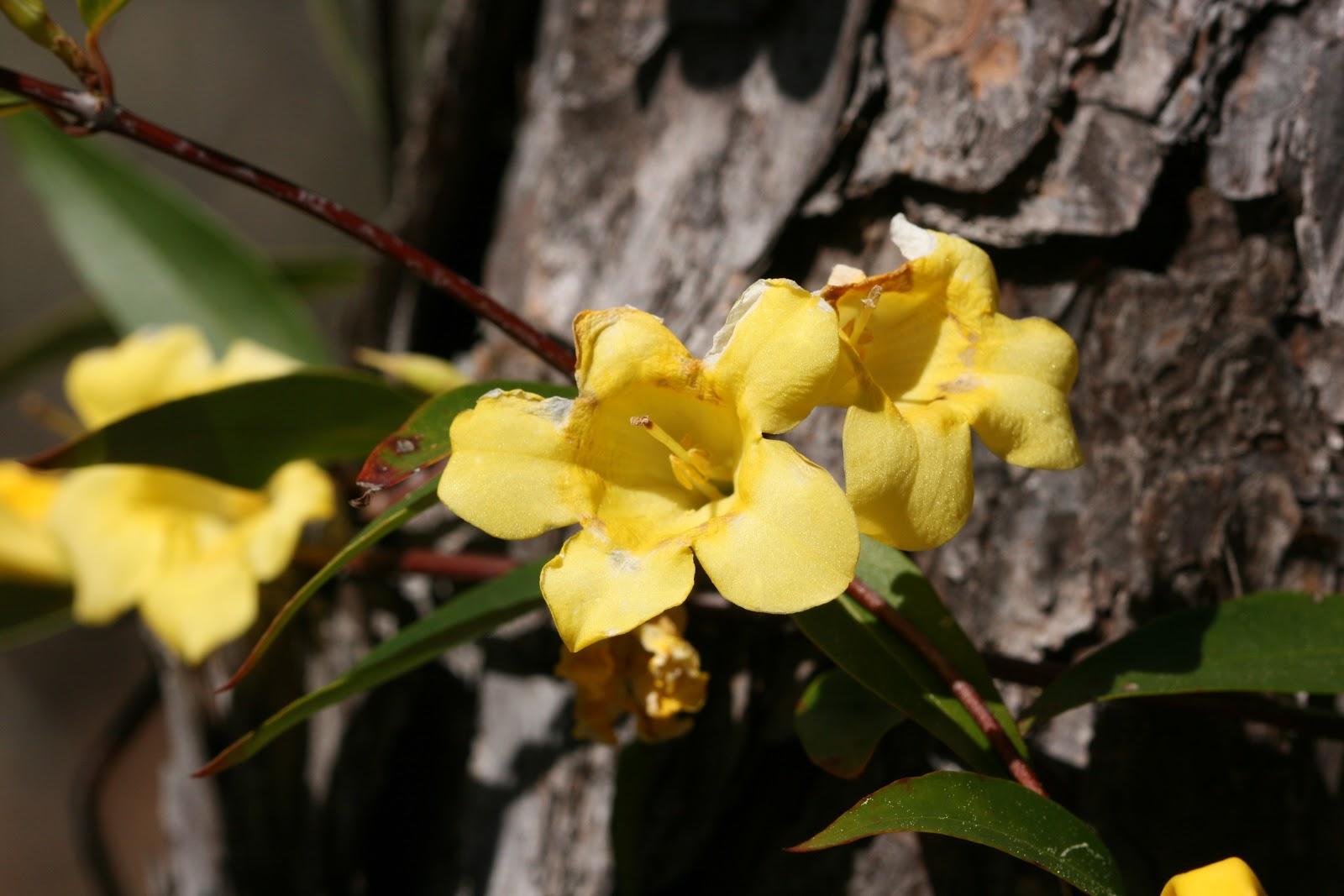 Native Florida Wildflowers Yellowcarolina Jessamine Gelsemium