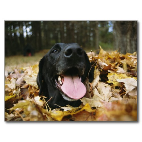 Black Lab All Smiles Amongst Autumn Leaves | Cute Photo Postcard