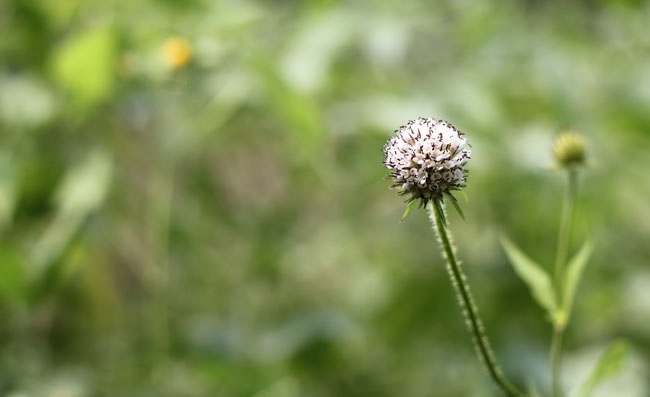 Teasel Flowers Pictures
